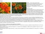 Lilium лилия