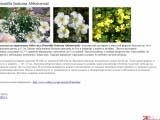 Potentilla fruticosa Abbotswood лапчатка