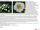 Paeonia Krinkled White пион