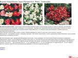 Begonia бегония