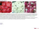 Dianthus barbatus  гвоздика