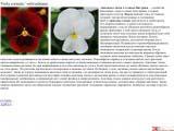 Viola cornuta виола, анютины глазки