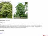 Aesculus hippocastanum каштан
