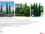 Juniperus scopulorum Skyrocket можжевельник скайрокет
