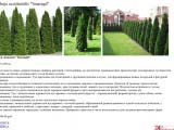 Thuja occidentalis Smaragd туя
