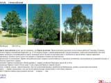 Betula береза гималайская