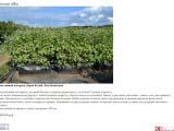 Cornus alba живая изгородь