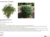 Euonymus alata  Compactus бересклет